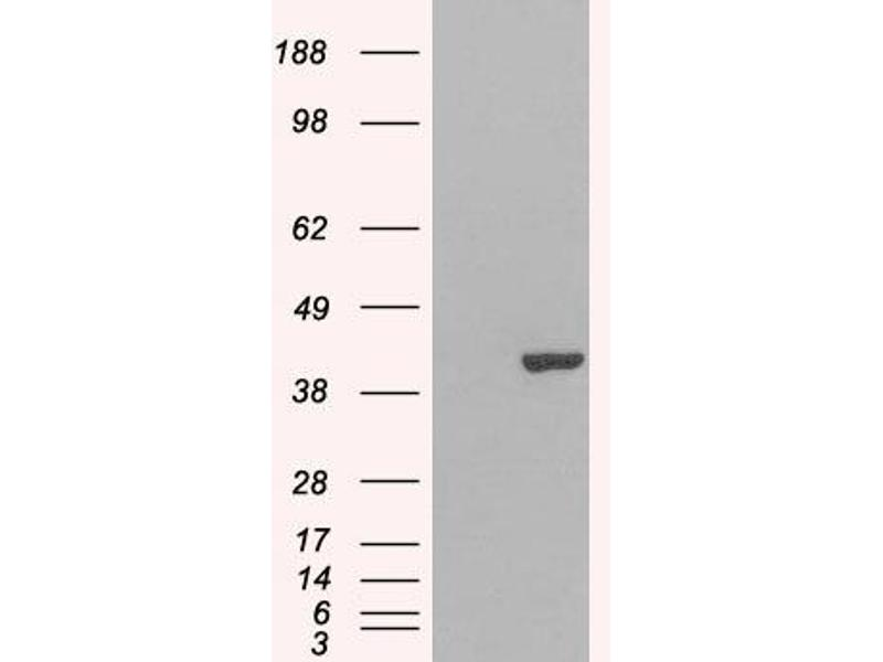 Western Blotting (WB) image for anti-GRAP2 antibody (GRB2-Related Adaptor Protein 2) (ABIN2435841)