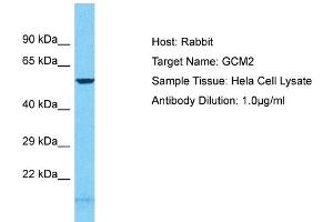 Image no. 1 for anti-Glial Cells Missing Homolog 2 (Drosophila) (GCM2) (N-Term) antibody (ABIN2792067)