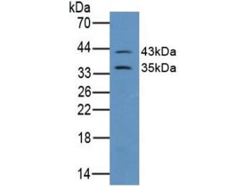 Western Blotting (WB) image for anti-Gap Junction Protein, alpha 1, 43kDa (GJA1) (AA 180-382) antibody (ABIN2896844)