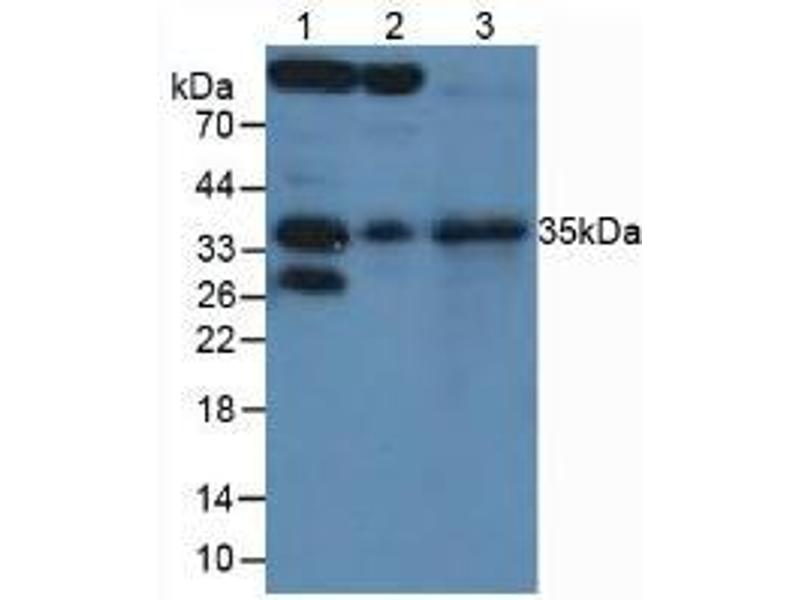 Western Blotting (WB) image for anti-Secreted Frizzled-Related Protein 5 (SFRP5) (AA 45-162) antibody (ABIN1175831)