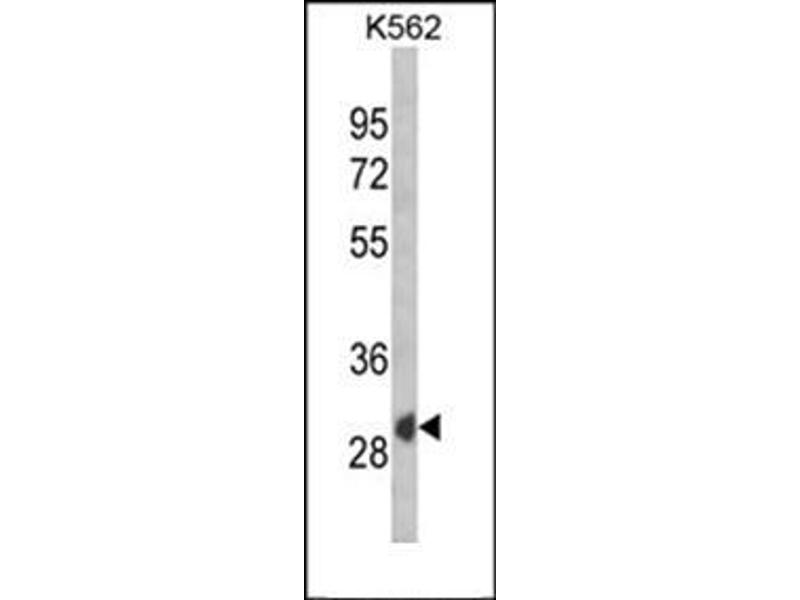 Western Blotting (WB) image for anti-SFRP1 antibody (Secreted Frizzled-Related Protein 1) (AA 33-63) (ABIN954759)