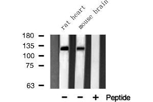 Image no. 2 for anti-Junction Mediating and Regulatory Protein, P53 Cofactor (JMY) antibody (ABIN6262708)