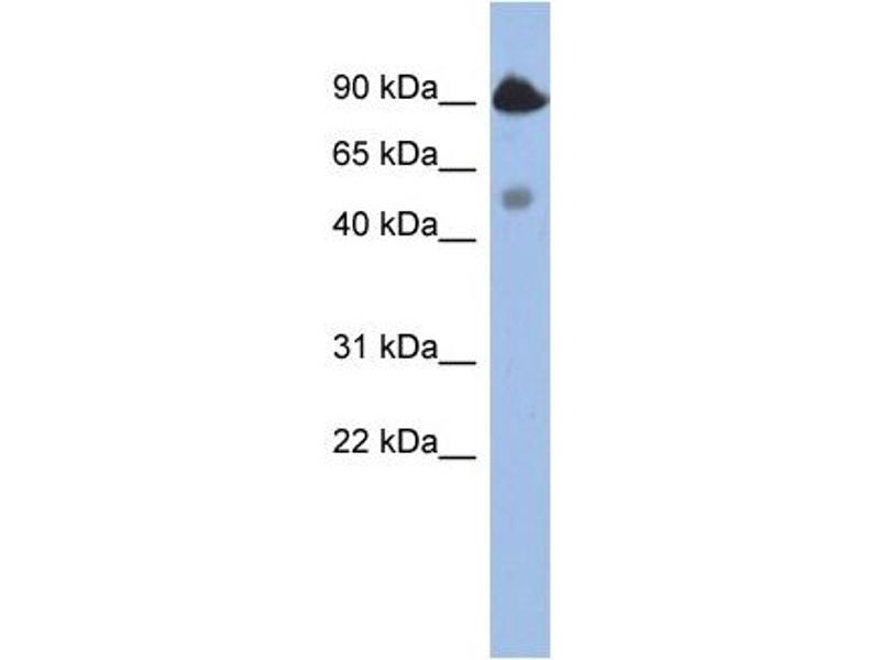 Western Blotting (WB) image for anti-BCL2-Like 13 (Apoptosis Facilitator) (BCL2L13) (Middle Region) antibody (ABIN504577)