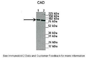 Image no. 2 for anti-Carbamoyl-Phosphate Synthetase 2, Aspartate Transcarbamylase, and Dihydroorotase (CAD) (N-Term) antibody (ABIN2782488)