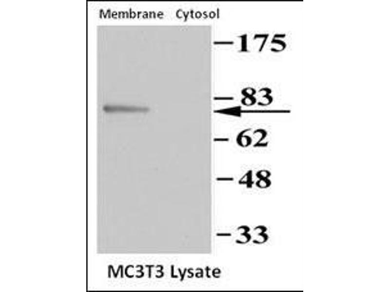 Western Blotting (WB) image for anti-Protein Kinase, CGMP-Dependent, Type II (PRKG2) (AA 714-744), (C-Term) antibody (ABIN392537)