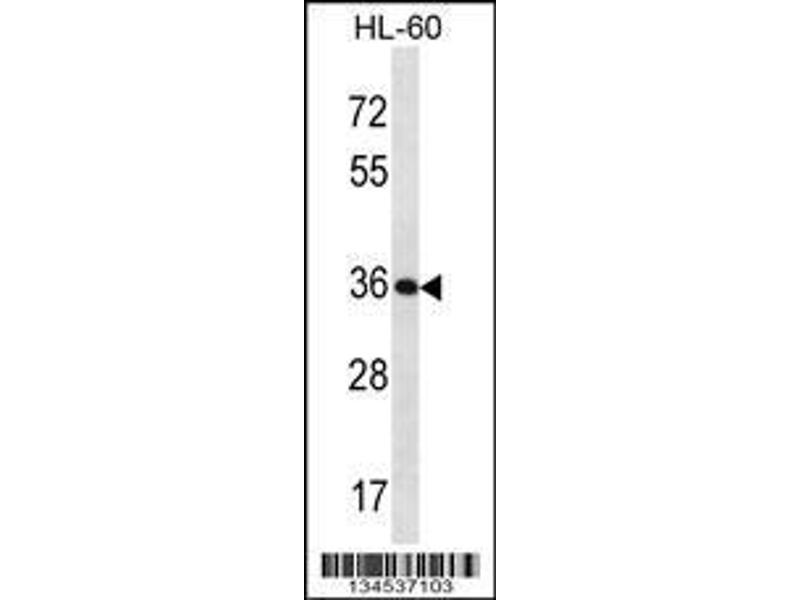 Western Blotting (WB) image for anti-Kallikrein 9 antibody (KLK9) (AA 81-111) (ABIN2488912)