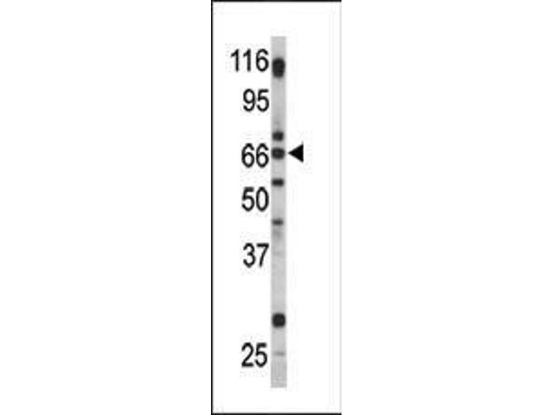 Western Blotting (WB) image for anti-GPR37 antibody (G Protein-Coupled Receptor 37 (Endothelin Receptor Type B-Like)) (AA 217-246) (ABIN390380)