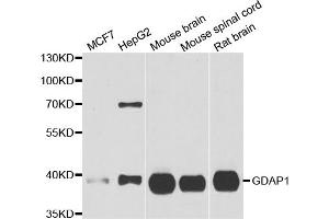 Western Blotting (WB) image for anti-Ganglioside-Induced Differentiation-Associated Protein 1 (GDAP1) antibody (ABIN2969597)