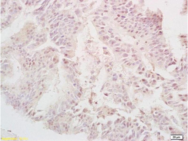 Immunohistochemistry (IHC) image for anti-TGFA antibody (Transforming Growth Factor, alpha) (AA 24-52) (ABIN724415)