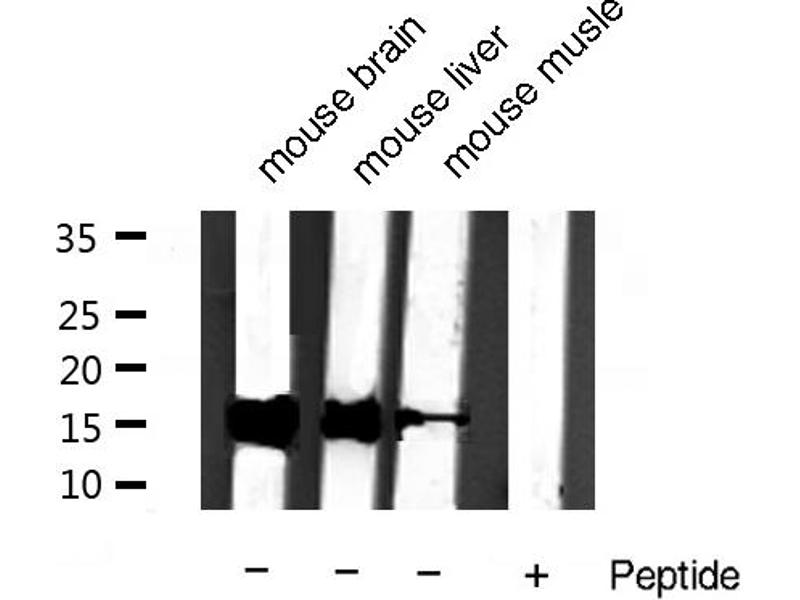 Western Blotting (WB) image for anti-Cytochrome C, Somatic (CYCS) antibody (ABIN6261178)