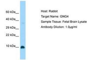 Image no. 1 for anti-G Protein gamma 4 (GNG4) (C-Term) antibody (ABIN6750183)
