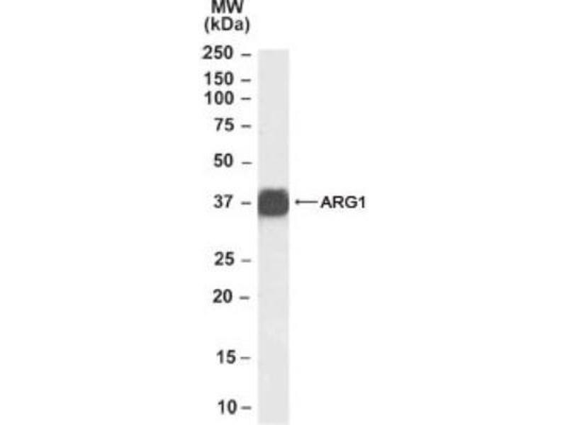 Western Blotting (WB) image for anti-Arginase, Liver (ARG1) (C-Term) antibody (ABIN252947)