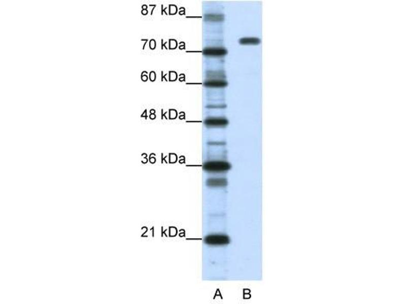 Western Blotting (WB) image for anti-Nucleolin (NCL) (C-Term) antibody (ABIN629901)