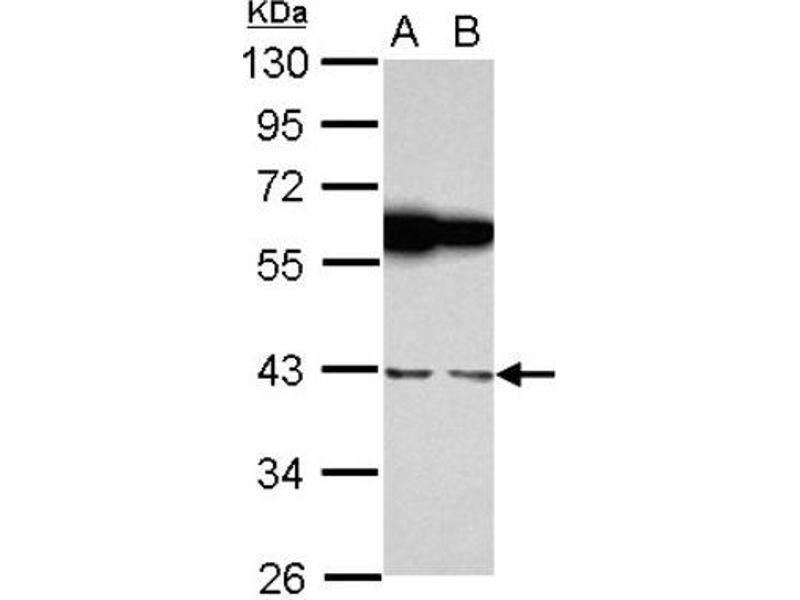 Western Blotting (WB) image for anti-RNA Binding Motif, Single Stranded Interacting Protein 1 (RBMS1) (Center) antibody (ABIN4349647)