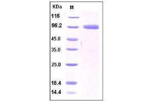 Image no. 1 for CD274 Molecule (CD274) (AA 1-239), (Extracellular Domain), (N-Term) (Active) protein (Fc Tag) (ABIN2002035)
