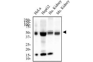 Western Blotting (WB) image for anti-Methionine Adenosyltransferase II, alpha (MAT2A) (AA 1-100), (N-Term) antibody (ABIN410043)