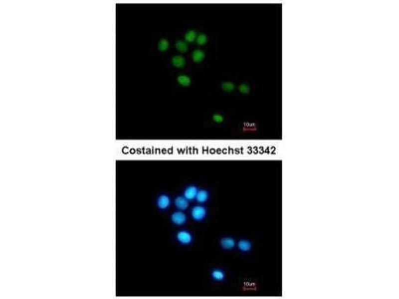 Immunofluorescence (IF) image for anti-Tubby Like Protein 3 (TULP3) (Center) antibody (ABIN2856010)