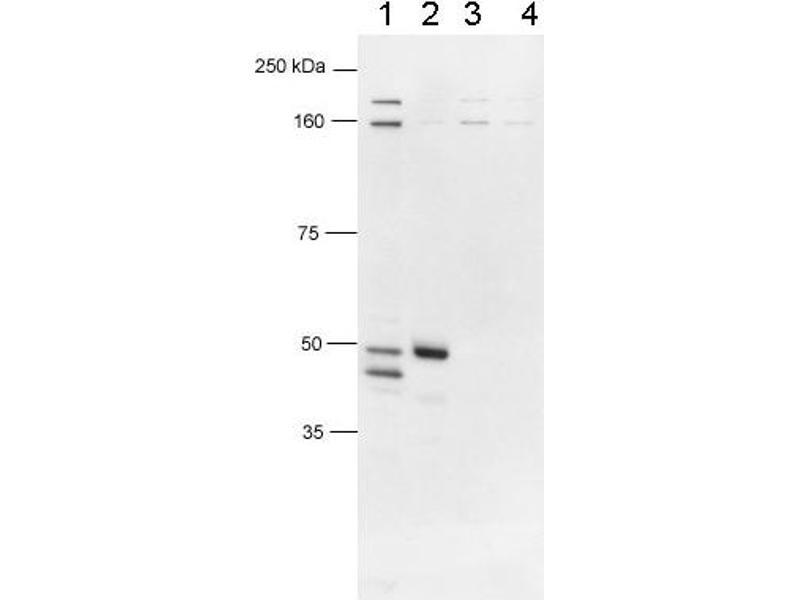 Western Blotting (WB) image for anti-Forkhead Box P3 (FOXP3) (AA 400-431), (C-Term) antibody (ABIN153185)