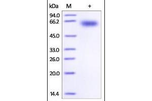 Image no. 1 for Programmed Cell Death 1 (PDCD1) (AA 25-167) (Active) protein (Fc Tag) (ABIN2181617)