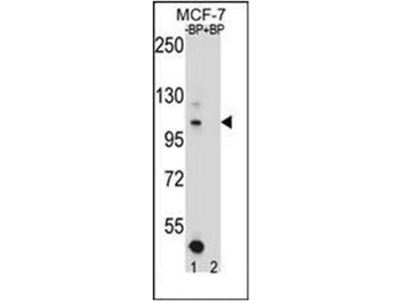 Western Blotting (WB) image for anti-Homeodomain Interacting Protein Kinase 1 (HIPK1) (AA 892-922), (C-Term) antibody (ABIN952740)