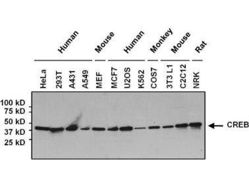 Western Blotting (WB) image for anti-cAMP Responsive Element Binding Protein 1 (CREB1) antibody (ABIN261497)