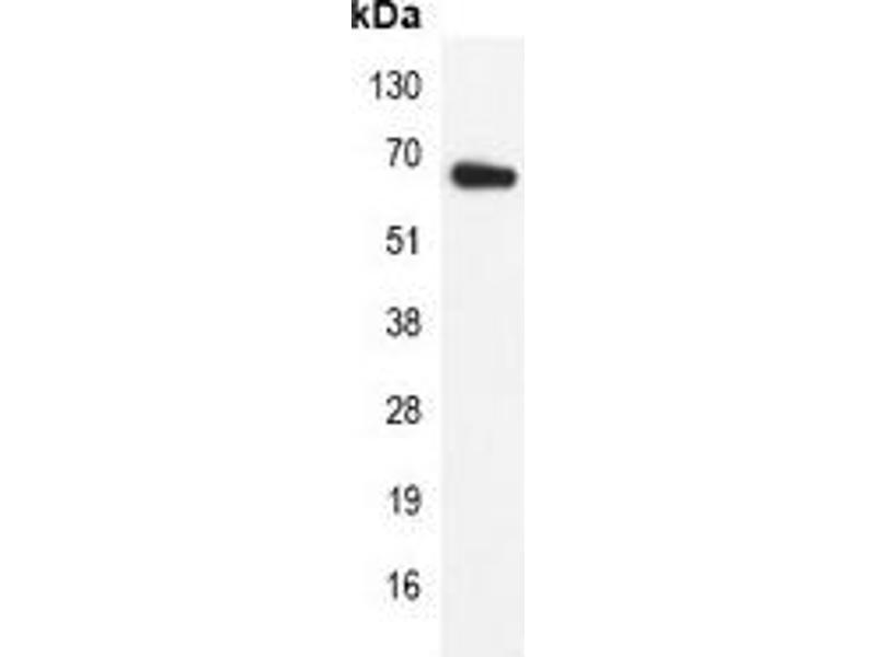 Immunoprecipitation (IP) image for anti-Lamin B1 (LMNB1) antibody (ABIN2852658)