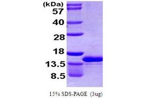 Image no. 1 for Chemokine (C-C Motif) Ligand 4-Like 1 (CCL4L1) (AA 24-92) protein (His tag) (ABIN666795)