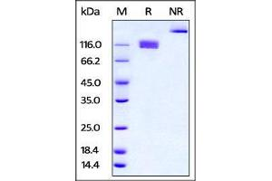 Image no. 2 for Colony Stimulating Factor 1 Receptor (CSF1R) (AA 20-511) (Active) protein (Fc Tag) (ABIN4949181)