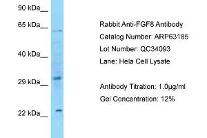 Western Blotting (WB) image for anti-Fibroblast Growth Factor 8 (Androgen-Induced) (FGF8) (C-Term) antibody (ABIN2774365)