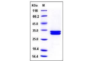 Image no. 1 for Kallikrein 7 (KLK7) (AA 1-253), (Extracellular Domain) (Active) protein (His tag) (ABIN2002805)