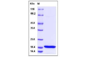 Image no. 1 for PCNA Clamp Associated Factor (PAF) (AA 1-111) protein (His tag) (ABIN2003706)