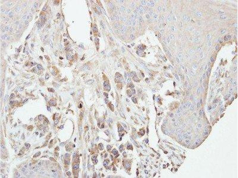Immunohistochemistry (Paraffin-embedded Sections) (IHC (p)) image for anti-Protein Kinase C, gamma (PRKCG) (Center) antibody (ABIN442501)