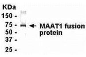 Image no. 1 for anti-Mitochondrial Ribosomal Protein L28 (MRPL28) (AA 129-256) antibody (ABIN2468022)