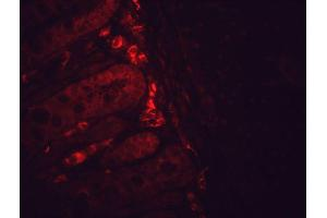 Image no. 3 for anti-Heat Shock Protein 90 (HSP90) antibody (FITC) (ABIN2481353)