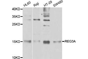 Image no. 2 for anti-Regenerating Islet-Derived 3 alpha (REG3A) antibody (ABIN6569104)