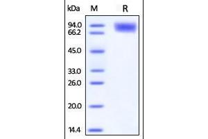 Image no. 1 for CD226 Molecule (CD226) (AA 19-247) (Active) protein (Fc Tag) (ABIN2870817)