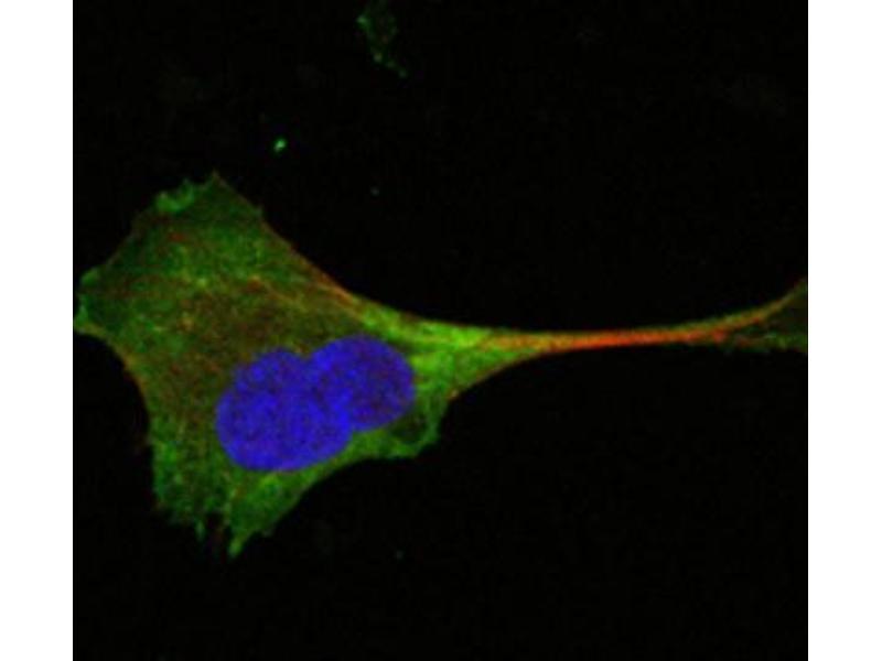 Immunocytochemistry (ICC) image for anti-Wingless-Type MMTV Integration Site Family, Member 10B (WNT10B) antibody (ABIN1846735)