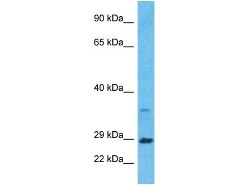 Western Blotting (WB) image for anti-Brain-Derived Neurotrophic Factor (BDNF) (Middle Region) antibody (ABIN2777093)