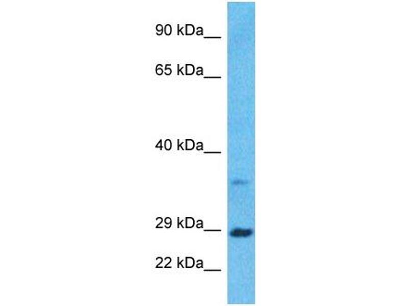 Western Blotting (WB) image for anti-Brain-Derived Neurotrophic Factor (BDNF) (Middle Region) antibody (ABIN2777093)