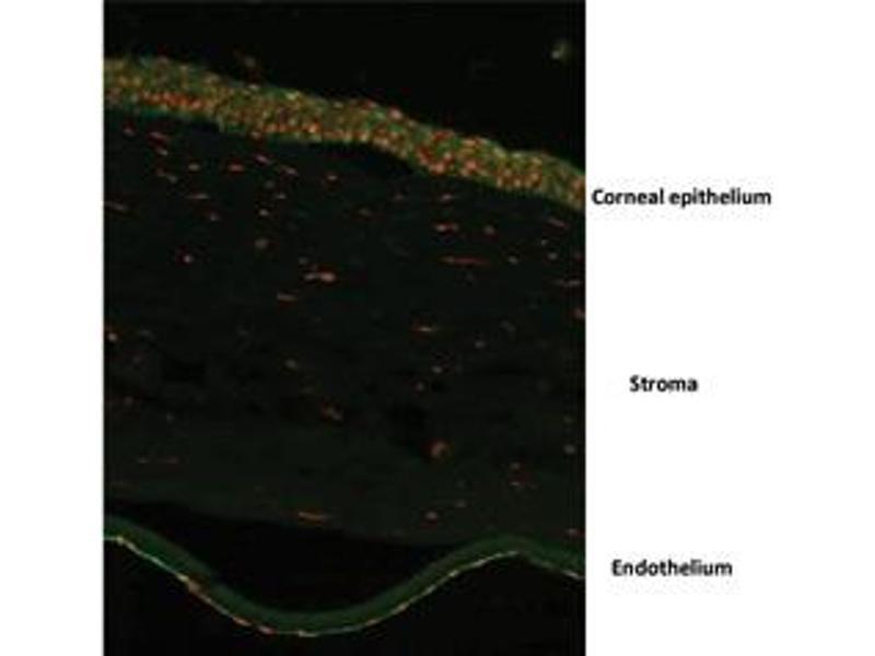 Immunofluorescence (IF) image for anti-Ovo-Like 2 (Drosophila) (OVOL2) (N-Term) antibody (ABIN2781151)