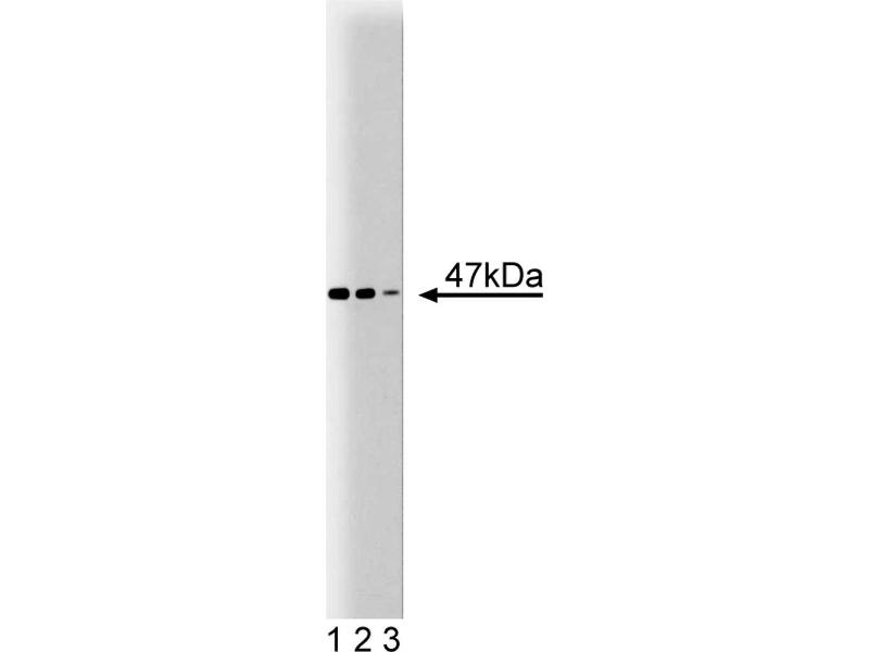 Western Blotting (WB) image for anti-Coagulation Factor II (thrombin) Receptor (F2R) (AA 33-153) antibody (ABIN968574)