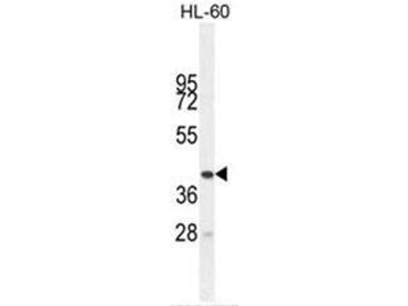 Western Blotting (WB) image for anti-Butyrophilin-Like 3 (BTNL3) (AA 430-459), (C-Term) antibody (ABIN950692)
