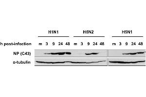 Image no. 2 for anti-Influenza Nucleoprotein antibody (Influenza A Virus H2N2) (H1N1), (H2N2), (H3N2), (H5N1), (H5N2) (ABIN2452039)