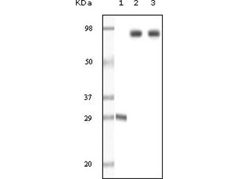 Western Blotting (WB) image for anti-Dynamin 1 (DNM1) antibody (ABIN258743)
