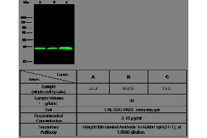 Image no. 2 for anti-Flavin Reductase (BLVRB) (AA 2-206) antibody (ABIN1999949)