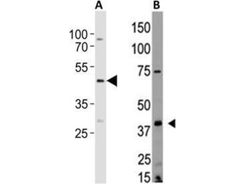 Image no. 2 for anti-Lysophosphatidic Acid Receptor 2 (LPAR2) (AA 3-32), (N-Term) antibody (ABIN3170508)