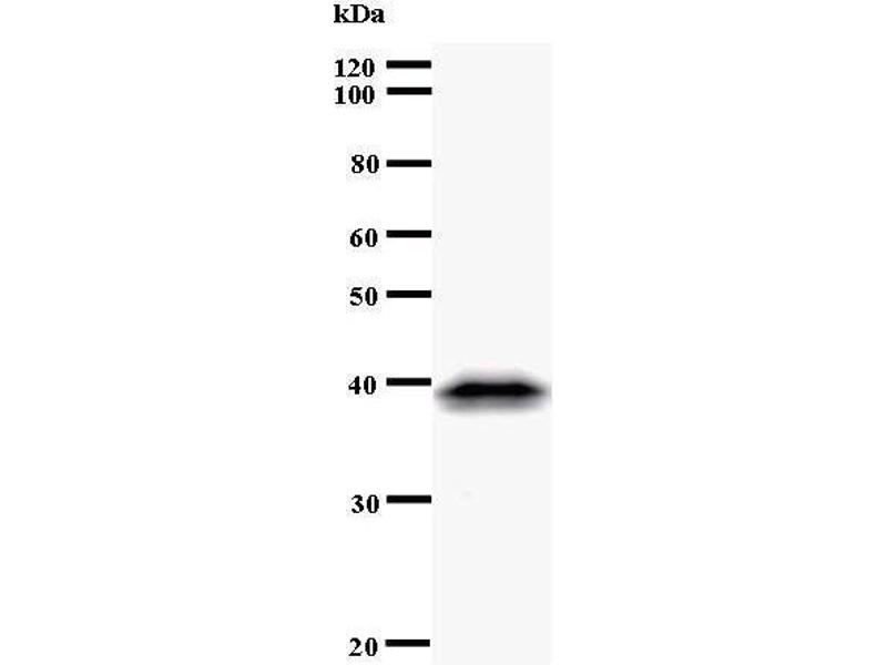 Western Blotting (WB) image for anti-CDC5 Cell Division Cycle 5-Like (S. Pombe) (CDC5L) antibody (ABIN933108)