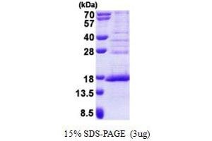 Image no. 1 for Family With Sequence Similarity 119A (FAM119A) (AA 93-218) protein (His tag) (ABIN6387219)