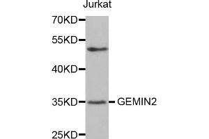 Image no. 1 for anti-Gem (Nuclear Organelle) Associated Protein 2 (GEMIN2) antibody (ABIN6569444)