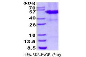 Image no. 1 for Cleavage Stimulation Factor, 3' Pre-RNA, Subunit 1, 50kDa (CSTF1) protein (His tag) (ABIN1098663)